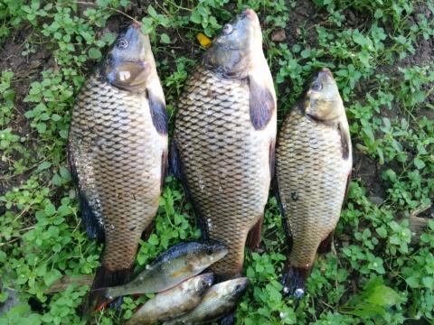 Pošírovaná ryba s lákem je hotová lahůdka.