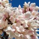 druh magnolie