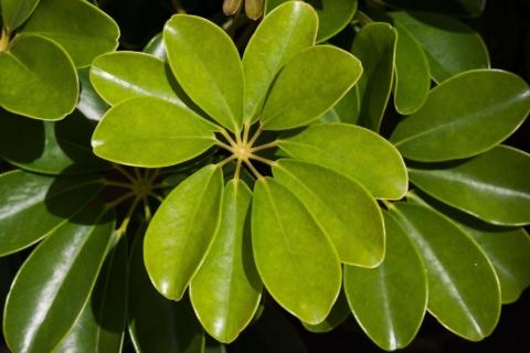 zelena seflera