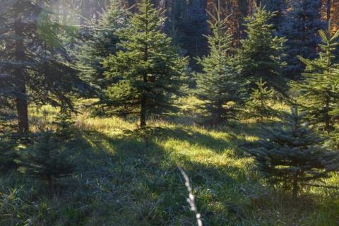 vysadba vanocniho stromu