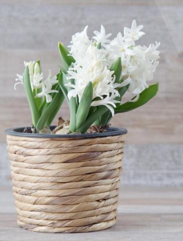 hyacint v kvetinaci