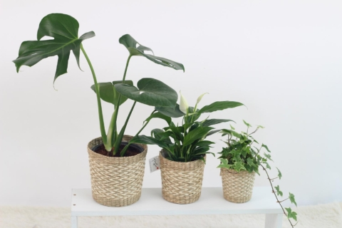 zalevani pokojovych rostlin