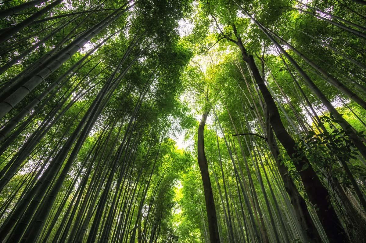 bambusove stromy
