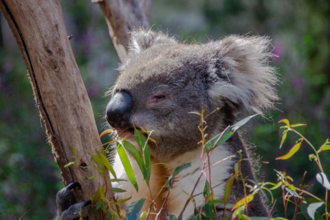 koala eukalyptus