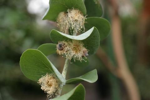 kvetouci eukalyptus