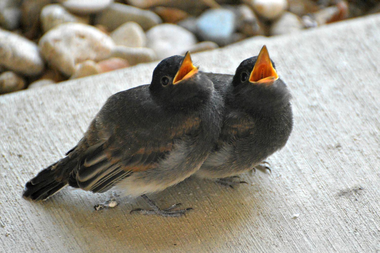 ptace vlastovka