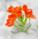 Ornithogalum dubium: snědek